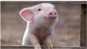 猪价创23月新低,18年养猪赔钱已成定局,怎么办?