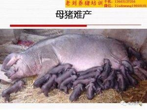 老刘养猪培训 解剖――母猪难产