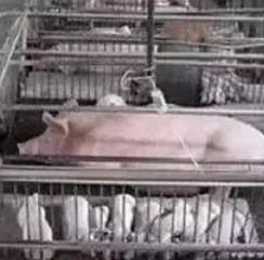怎样提高分娩舍母猪采食量?