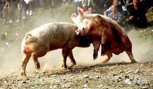 猪群打架应激怎么办?看这里!看这里!