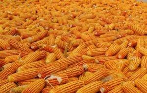 刘德旺:养猪知识--为什么玉米是最常用的能量饲料?