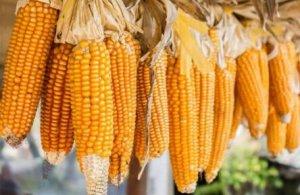 【市场分析】寒潮过后玉米售粮高峰逐渐开启