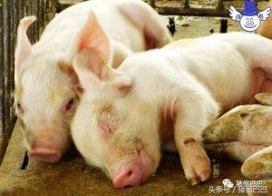 各种仔猪保温工具的优缺点分析,适合自己的才是最好的!