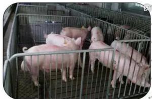 北京首批基因组选择公猪诞生并应用于实际
