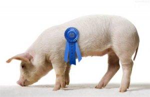 光照对养猪场有何影响?你不得不知!
