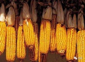 目前玉米价格涨价还在继续,未来走势如何
