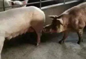 空怀母猪的饲养诀窍,这篇文章讲全了!