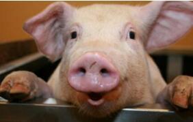猪场管理:猪的各阶段采食量,建议收藏!!