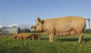 国家生猪调出大县恐要全面禁养,散养户只