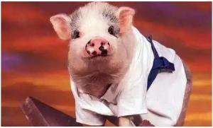 养猪高手的育肥6字诀,有效提高猪的生长