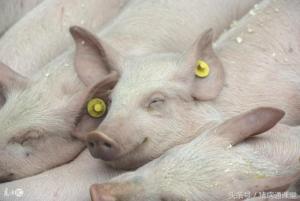 从这几个症状就可以诊断是否为猪蓝耳病!