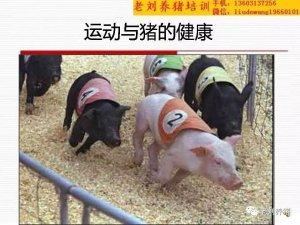 老刘养猪培训 解剖――运动与健康