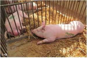 猪场发生病毒性腹泻,检查下猪场是不是这