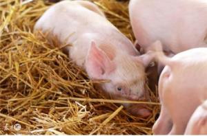 小李养猪有绝招,让仔猪成活率到了九成九