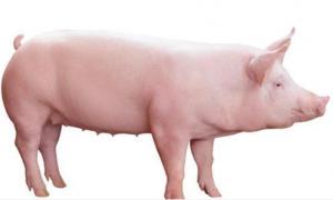 老猪倌用30年养母猪的经验教你如何挑选野
