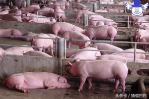 选择什么样的猪场消毒剂才最好用?这些标准是要考量的!