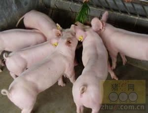选育良种母猪,原来这么简单