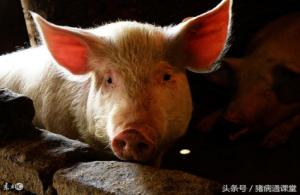 怎样提高生猪日增重?