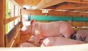 """首批加拿大种猪抵川""""定居"""" 后代肉猪每头多赚120元"""