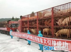 国外引种再掀高潮!四川、湖南等地要借国外种猪打造地方品牌