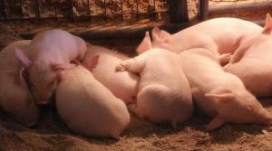 冬季怎么利用益生菌低水分发酵糟渣饲喂养