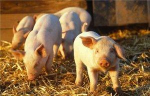 为何保育猪容易消瘦喘