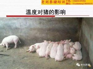 老刘养猪培训 环境――温度对猪的影响有多大?