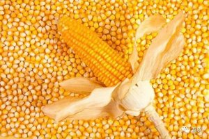 玉米价格涨至高点,农民卖粮时机或已到!