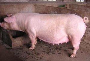 猪灌肠术,子宫冲洗术……这几招,学到就是赚到!