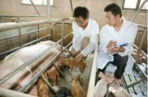 猪场管理实用干货――人工授精技术操作规程(下)