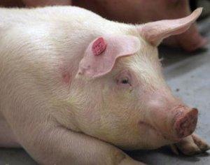 案例:40kg育肥猪链球菌病继发伤寒的临床诊断、治疗