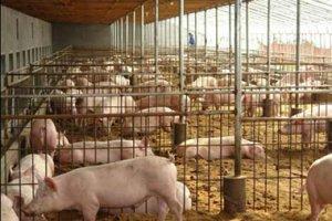 猪场如何选址?猪场场区如何布局与规划?