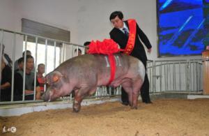 关注这头猪让你的每头小猪都是健仔,出生