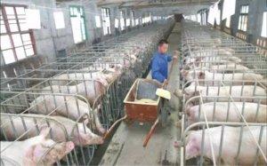 明年你还养猪吗?养殖户:操不完的心,难赚的钱...