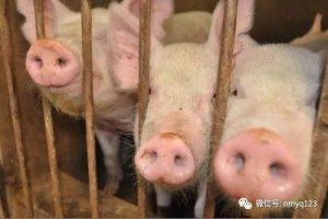 生猪日评:东北猪价反弹 南方涨势放缓