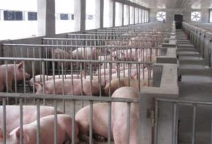 浙江:上虞万头猪场尝到农牧循环甜头