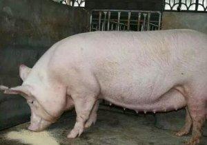 健康母猪怀孕后期的攻胎与仔猪初生重、初生活力的影响