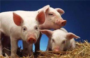 某猪场母猪多胎高产有这六招,周围猪场被甩十条街!