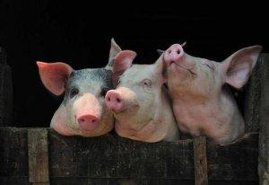 自然养猪法的猪舍设计原则,这样最省钱!