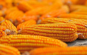 玉米市场热火朝天,玉米价格高点渐显!未