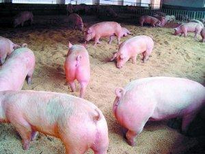 温氏一体化项目再扩建 加速福泉生猪产业