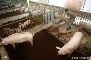 猪舍改一改,效益翻两倍,值得养猪人学习!