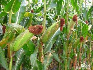 玉米多空复杂,玉米价格高点已现!农户卖