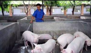 你不得不知道的冬季猪舍清理的妙招和要点!