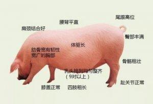 关注母猪营养需求,提高猪场PSY水平 ―后备母猪篇