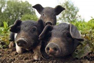 别再钻研养猪技术了,这样养猪,才是最赚