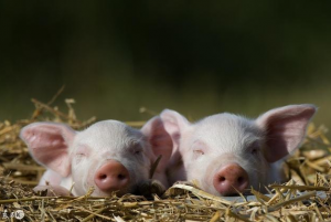 猪场日常饲养管理及注意事项(珍藏版)
