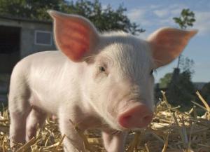 猪群治疗过程中,了解药物的性状,才能更