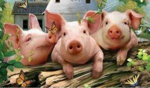 """明年养猪""""四大趋势 三大风险"""""""