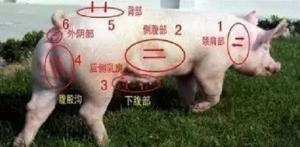 母猪不发情屡见不鲜,但你真的会正确选用